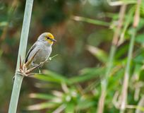 Verdin in bamboo. A cute, yellow faced verdin perching on a bamboo stalk. with a slightly out of focus background Stock Photos