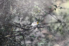 Verdin on a Branch Royalty Free Stock Photography
