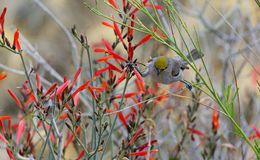 Verdin Perched Precariously on Red Flower Royalty Free Stock Photography