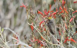 Verdin Perched on Red Flower Stock Photography
