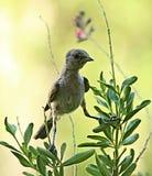 Verdin ptaki w Arizona Zdjęcia Royalty Free
