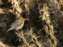 Verdin on staghorn cholla royalty free stock images