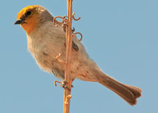 Verdin Watching Royalty Free Stock Photography