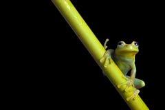 Verdissez la grenouille d'arbre la nuit dans la forêt tropicale d'Amazone Image libre de droits