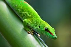 Verdissez le gecko photos libres de droits