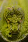Verdissez le python Images libres de droits