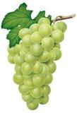 Verdissez les raisins Images libres de droits