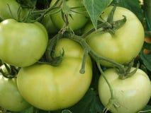 Verdissez les tomates Photos libres de droits