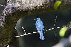 Verditer Flycatcher Royalty Free Stock Images