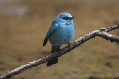 Verditer Flycatcher Stock Photos