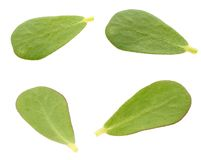 Verdolaga (purslane) leaf Royalty Free Stock Photos