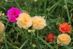 Verdolaga rosa e giallo scuro o il Purslane comune o poco Hogweed o Pusley e fuori mettono a fuoco il fiore arancio Immagini Stock Libere da Diritti