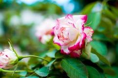 Verdoppeln farbige Rose lizenzfreies stockfoto