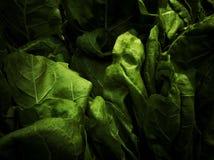 Verdor de las hojas del cardo fotos de archivo