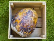 Verdorbener Kürbis in einer Holzkiste Stunned getrocknetes und faules Gemüse wird befleckt Auf einem grünen Teppich lizenzfreie stockfotos