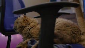 Verdraai een pluizige kat op een bureaustoel 3840x2160, 4K stock videobeelden