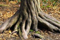 Verdraaide boomstam van boom stock afbeeldingen
