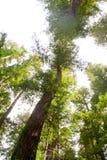 Verdraaide Californische sequoia Stock Foto