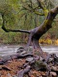 Verdraaide Eiken Boom op Riverbank Royalty-vrije Stock Foto