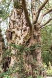 Verdraaide en knoestige boom in gronden van St Marys, Onder- Alderley-Parochiekerk in Cheshire Stock Afbeeldingen
