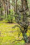 Verdraaide Pijnboom Stock Afbeeldingen