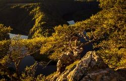 Verdraaide pijnboom op een rotshoogte boven de canion van de rivier in zon stock foto's