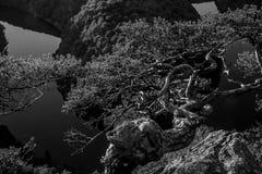 Verdraaide pijnboom op een rotshoogte boven de canion van de rivier in zon royalty-vrije stock afbeeldingen
