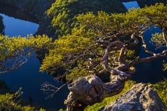 Verdraaide pijnboom op een rotshoogte boven de canion van de rivier in zon royalty-vrije stock foto