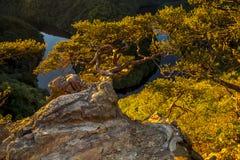 Verdraaide pijnboom op een rotshoogte boven de canion van de rivier in zon royalty-vrije stock afbeelding
