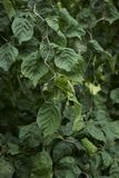 Verdraaide tak van Corylus avellanacontorta stock afbeeldingen