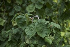 Verdraaide tak van Corylus avellanacontorta stock fotografie