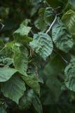 Verdraaide tak van Corylus avellanacontorta royalty-vrije stock foto's