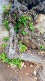 Verdraaide wortels van de Johannesbroodboom stock foto