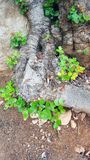 Verdraaide wortels van de Johannesbroodboom royalty-vrije stock fotografie