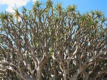 Verdrehte Niederlassungen Dragon Blood-Baums Stockbilder