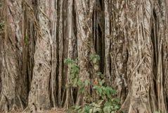 Verdrehte Rebe im Dschungel Stockfotografie