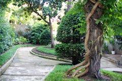Verdrehte Rebe im Garten Stockfotos