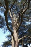Verdrehte Zweige des Eibe-Baums Stockbild