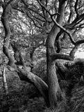 Verdrehter Baum gegen eine Trockenmauer Lizenzfreie Stockfotos