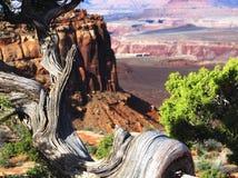 Verdrehter Cedar Tree Bough With Red-Klippen-und -tal-Hintergrund lizenzfreie stockfotografie