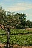 Verdrehter Olivenbaum durch die Reben, vertikal Stockbilder