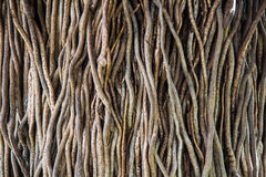 Verdrehter tropischer Baum wurzelt Hintergrund Lizenzfreie Stockfotos