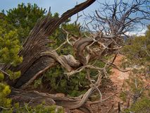 Verdrehter Utah-Wacholderbusch in der Wüste Stockfoto