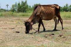 Verdun bruine koe stock foto
