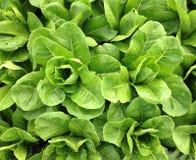 verdura Fotografia Stock Libera da Diritti