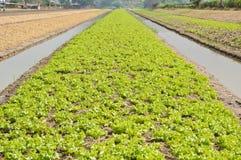 Verdura che coltiva con l'irrigazione dell'acqua Fotografia Stock Libera da Diritti