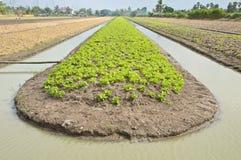 Verdura che coltiva con l'irrigazione dell'acqua Fotografia Stock