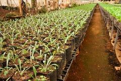 Verdura che pianta nell'azienda agricola moderna Immagini Stock Libere da Diritti