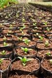Verdura che pianta nell'azienda agricola moderna Immagine Stock Libera da Diritti