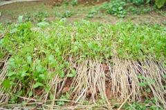 Verdura cinese del cavolo Immagine Stock